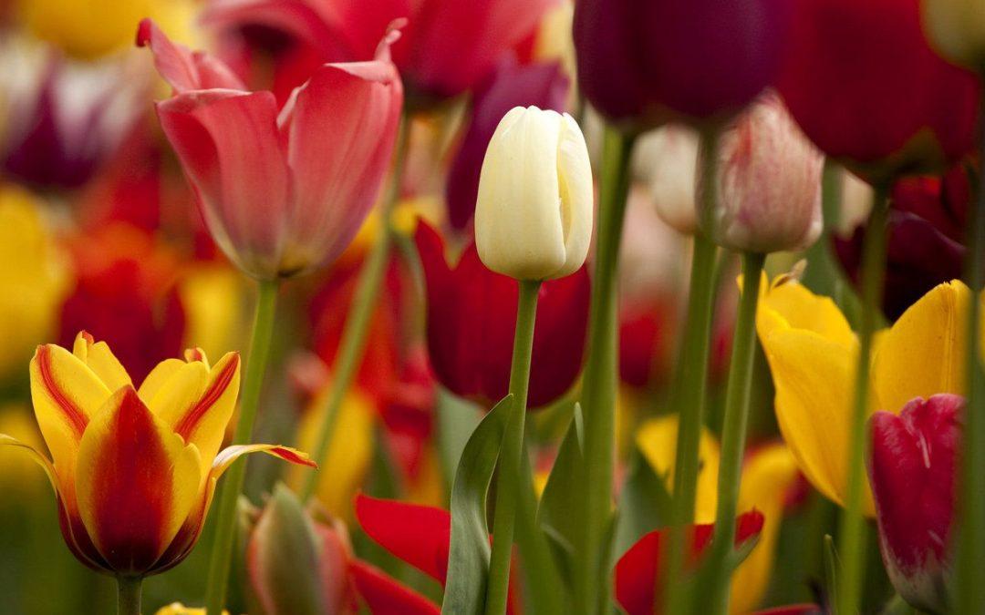 Comment visiter des champs de tulipes aux Pays-Bas